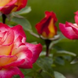 roses.1434962_80020230